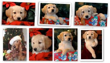 Golden Retriever Christmas Cards, Holiday Greetings